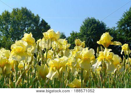 Beautiful yellow iris flowers in the garden. Selective focus