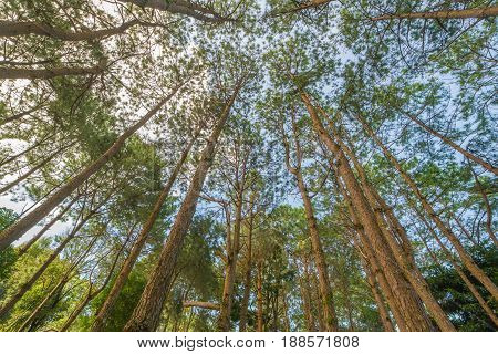 Bottom view of trunks trees in a pine forest.