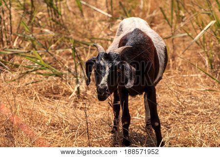 Goats Cluster Along A Hillside And Eat Dry Grass