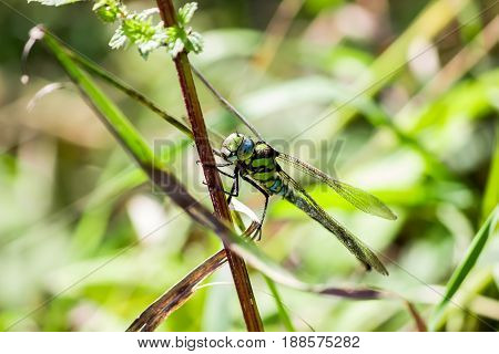 Large dragonfly close-up. A dragonfly sits on the stem of a plant. He looks at the camera. Large faceted eyes.