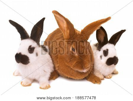 Fauve de Bourgogne and Checkered Giant rabbit in front of white background