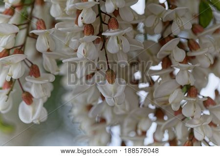 Flowers of a black locust (Robinia pseudoacacia)