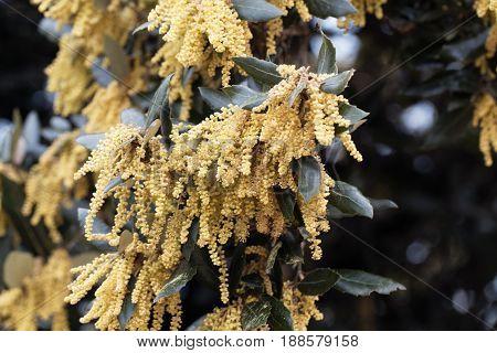 Flowers of an evergreen oak (Quercus ilex)