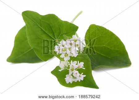 Buckwheat plant with flowers isolated on white background