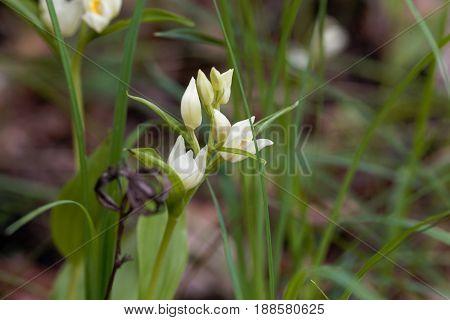 Flowers of a Narrow leaved Helleborine (Cephalanthera longifolia)
