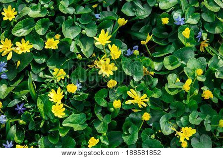 Close up green leaves with yellow flowers growing together with blue Scilla flowers
