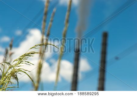 Plants on the background thermal power stations and power lines.