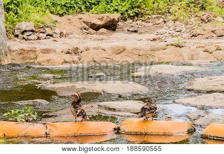 One male and one female mandarin duck on orange sandbags in a small stream in South Korea