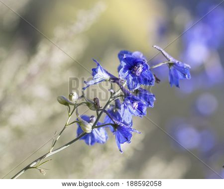 Summer blurred background with a delphinium flower in the foreground
