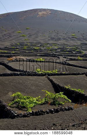 La Geria Wall   Viticulture  Winery Spain  Vine Screw  Crops