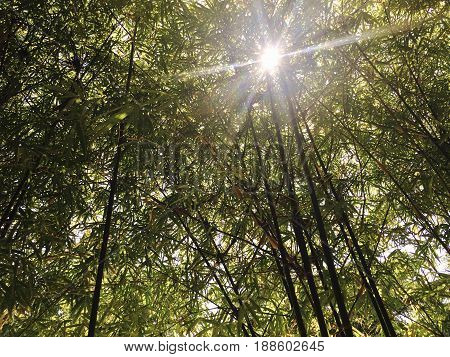 Ecology Concepts Nature Background Exotic Lush Green Bamboo Tree in The Forest with Sunlight. Looking Up View from Below.