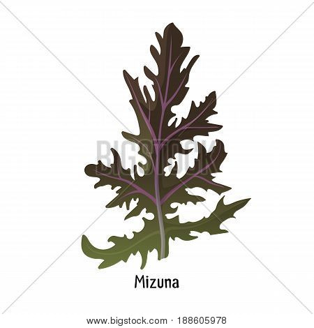 Mizuna kyona Japanese greens or spider mustard cultivated crop plant from species Brassica dark green, serrated leafed plant vector illustration