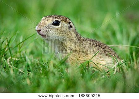 European ground squirrel in the green grass