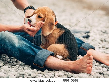 Thirsty beagle puppy drinks water from his owner hands