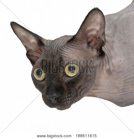 Head of a Canadian Sphynx cat close-up on a white background