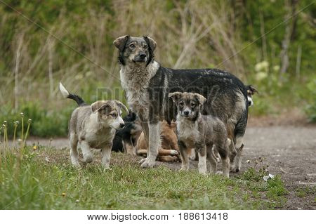 Pooch dogs family with mother and many puppies at nature