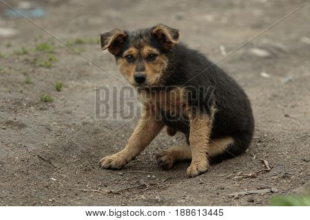 Single young pooch puppy sits on the ground with his ears hangs down