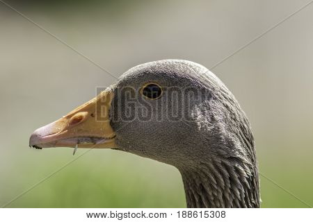 Greylag goose (Anser anser) head. Close up of face in profile. Wild bird against plain blurred background.