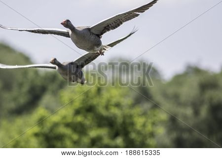 Greylag geese in flight. Migrating wild bird nature image with copy space. Peaceful soft wildlife scene.