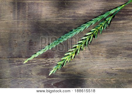 Not ripe ears of rye on a wooden gray table