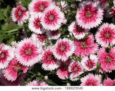 Garden with flowering pink and white sweet William flowers blooming.