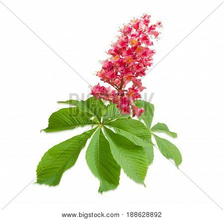 Branch of the red blooming horse-chestnuts with leaves and inflorescence on a light background