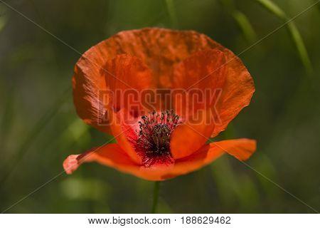 Lonely wild red poppy flower close-up poppy