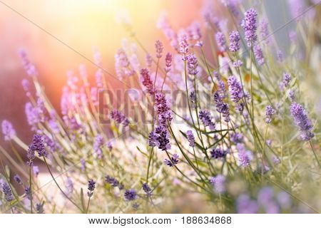 Soft focus on lavender flowers in flower garden behind my home, lavender flowers lit by sun rays