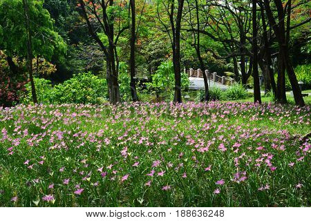 Zephyranthes Lily or Rain Lily in Queen Sirikit park Bangkok Thailand.