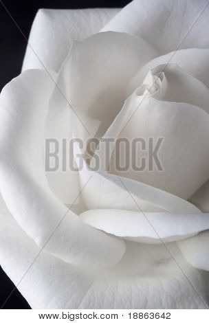 White rose macro texture