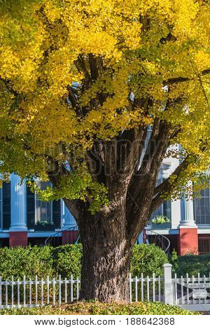 Close Up Of Ginkgo Tree In The Fall