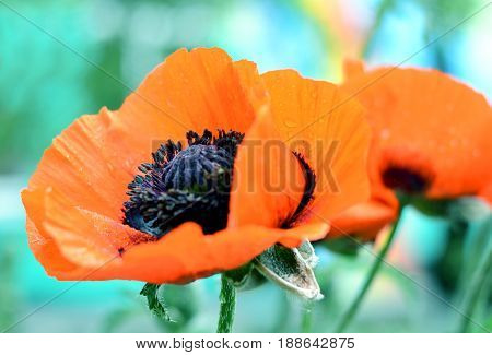 Beautiful red poppy, close-up photo of spring flower, symbol of commemorate military personnel who have died in war. Also simbol of sleeping and death.