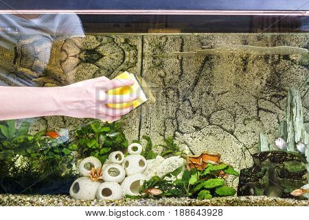 Young woman cleaning aquarium with sponge at home.