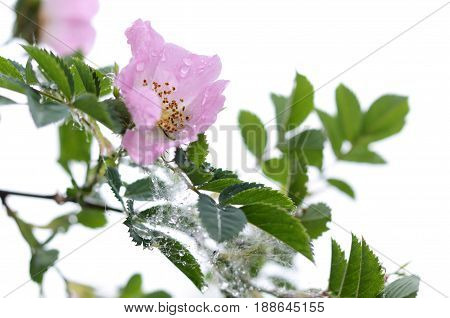Beautiful gentle flower of a dogrose in a rainy day. Spring seasonal backround.