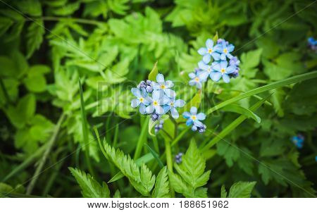 Forget Me Not. Blue Wild Flowers In Spring Forest