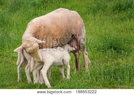 White Lamb With Its Mother - Feeding
