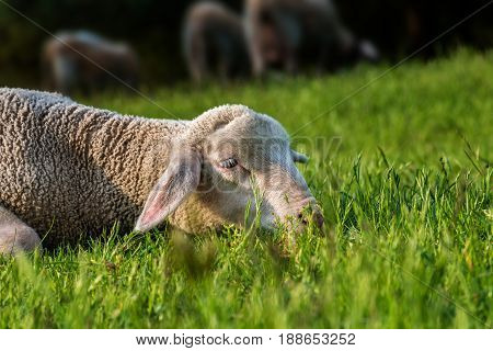 sheep lies in the grass (meadow) - daylight