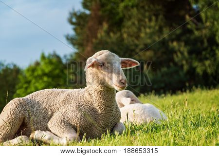 Sheep And Lamb In The Grass (meadow)