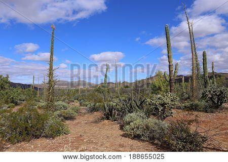 Cactus fields in Mexico, blue cloudy sky, Baja California, Mexico