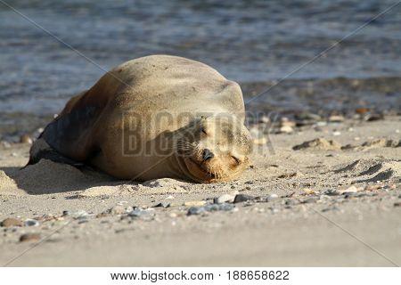 A young Sea Lion on the Beach, Baja California, Mexico