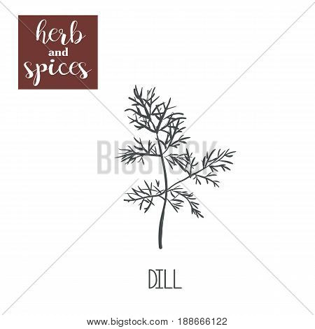 Dill sketch hand drawing. Dill vector illustration of herbs