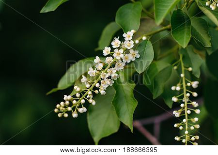Two branches of a blossoming cherry bird close-up on a dark background. Prunus padus