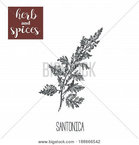 santonica sagebrush, absinthe, tarragon vector. Sketch santonica hand drawing illustration