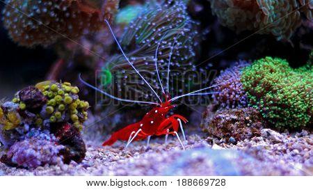 Red Fire shrimp in reef tank - Lysmata Debelius