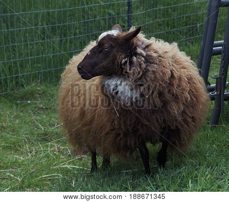 A brown and white sheep at the edge of a pasture in Western Oregon's Willamette Valley is due for its spring sheering.