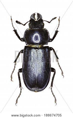 Blue Stag Beetle on white Background - Platycerus caraboides (Linnaeus 1758)