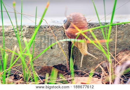 The snail descends the curb close-up view of an interesting inhabitant of wildlife