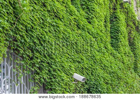 Clambering Plant On The Exterior Wall Of House