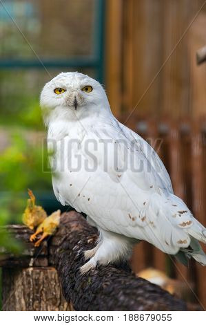 the snowy Arctic owl in a zoo sits on a tree looks in the camera.
