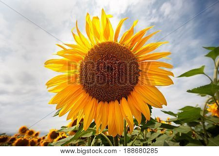 Field of sunflowers . Close up of sunflower against a field